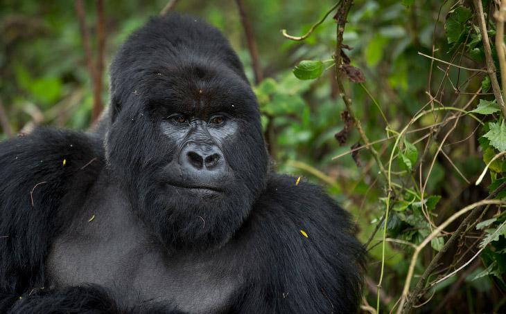 Национальный парк Вулканов (официально именуемый «Вирунга») расположен на границе Руанды с Заир
