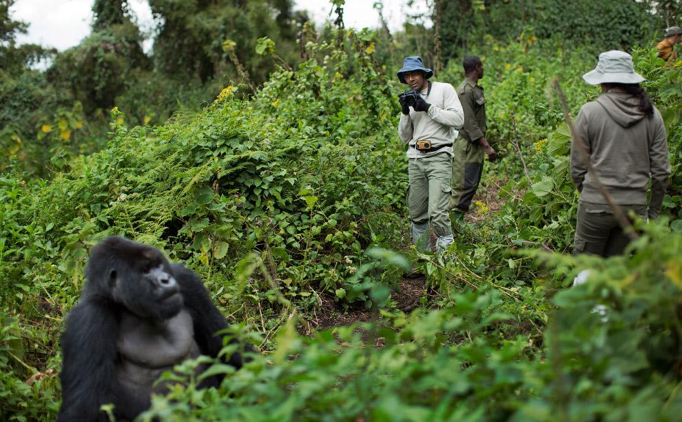 9. Рука горной гориллы. (Фото Ben Curtis):