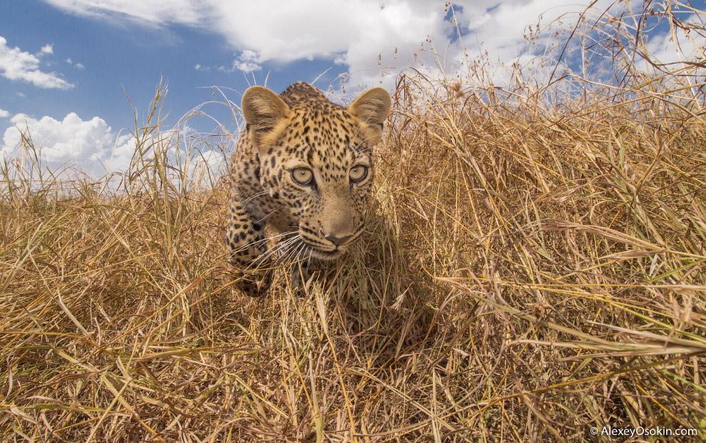 7. Слух леопардов примерно в пять раз лучше человеческого.