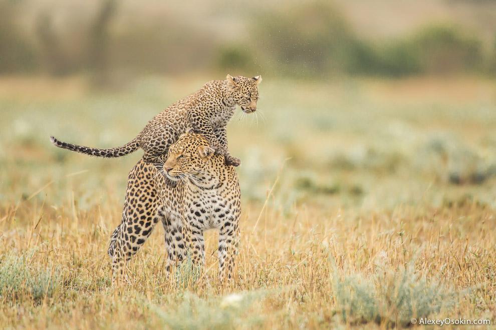 10+. Леопард — самый распространенный представитель семейства кошачьих после домашней кошки, од