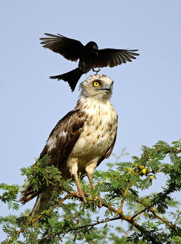 6. Фотограф-любитель считает, что орел сидел рядом с гнездом, которое ворона пыталась защитить.
