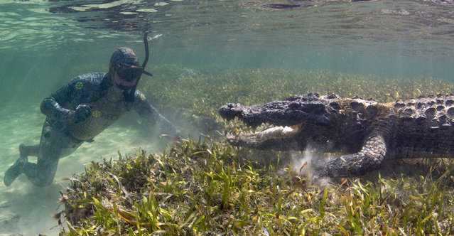 Wildlife biologist Forrest Galante gets up close to one of the wild crocodiles, wearing his camoufla