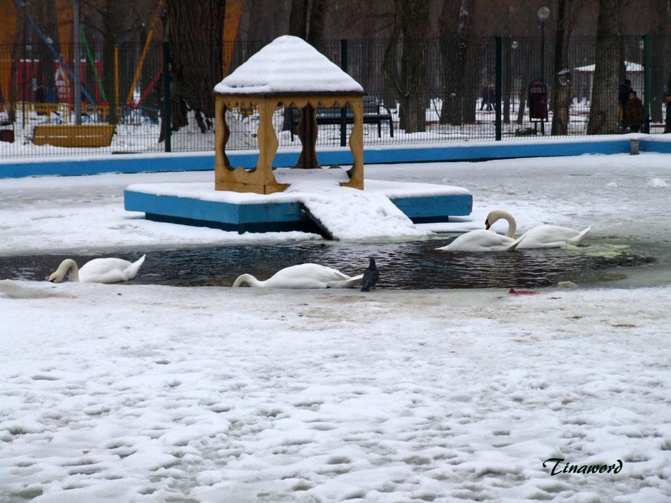 лебеди-0.jpg