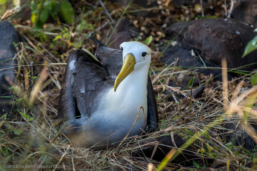 13. Обошли желтоклювого сбоку. Тот сидел, не двигаясь — высиживал яйца. Самки альбатросов, отло