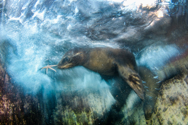 """Star player"". Luis Javier Sandoval, Mexico Winner, Impressions category. Curious young sea lions in"