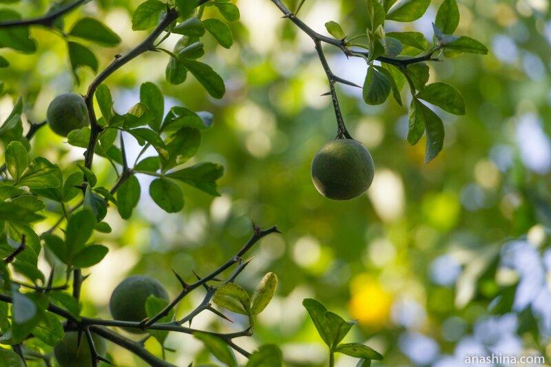 Плоды цитруса
