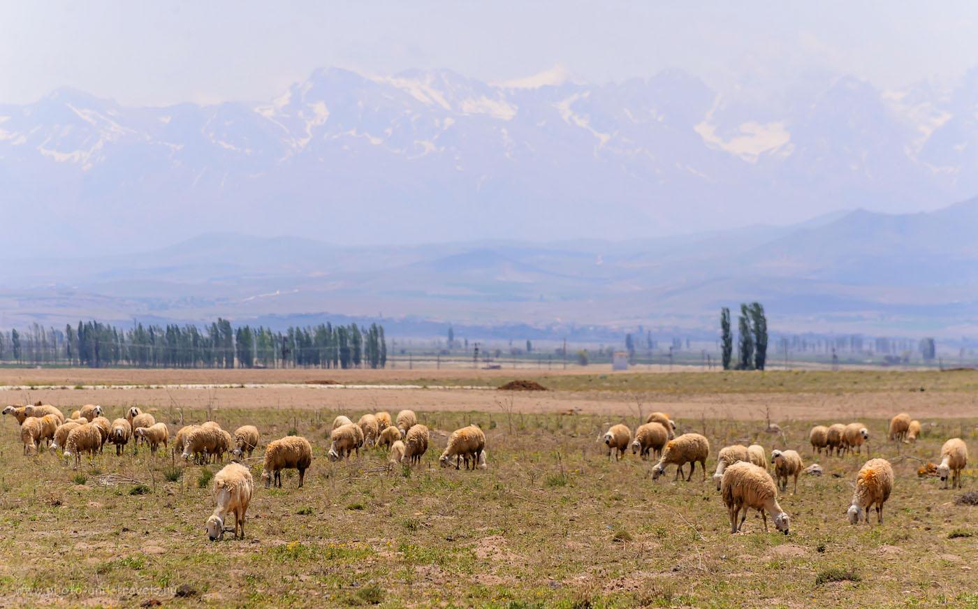 Фото 2. Отара на фоне горного массива Аладаглар (Aladağlar). Отзывы туристов из России об отдыхе в Турции. Снято на полнокадровый фотоаппарат Nikon D610 с телеобъективом Nikon 70-300mm f/4.5-5.6G ED-IF AF-S VR Zoom-Nikkor. Настройки: выдержка 1/1600 секунды, экспокоррекция +0,33 EV, диафрагма f/8.0, ИСО 500, фокусное расстояние 240 мм.