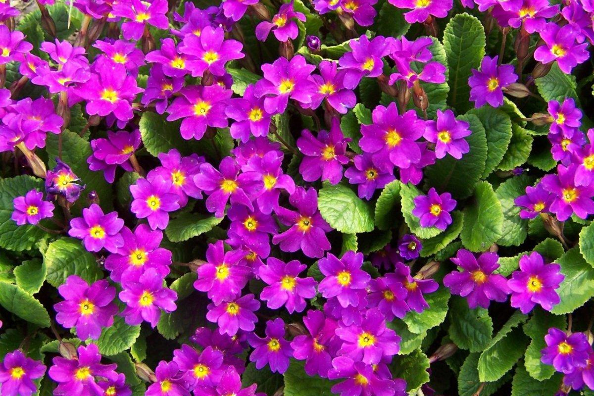 Где купить Примулу Акаулис (Primula acaulis) дёшево