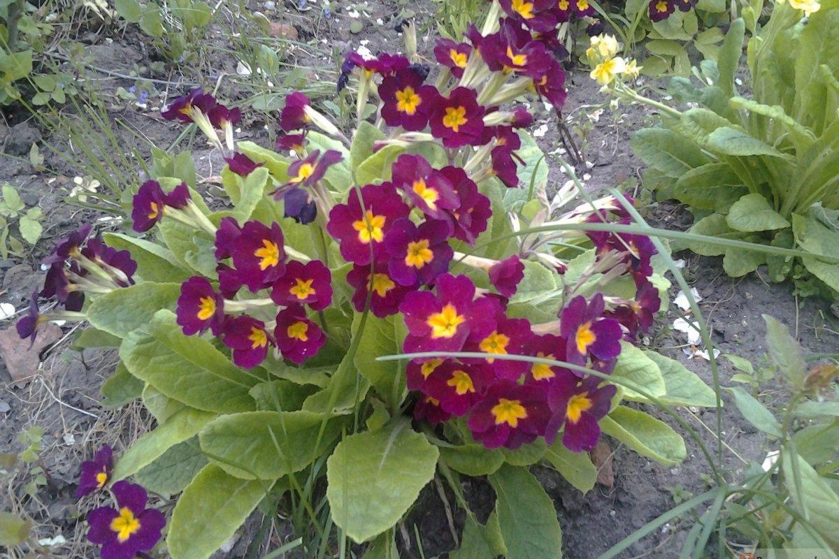 Многолетний цветок Примула Акаулис оптом