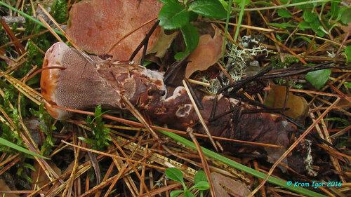 Изъятое из почвы молодое плодовое тело Автор фото: Кром Игорь