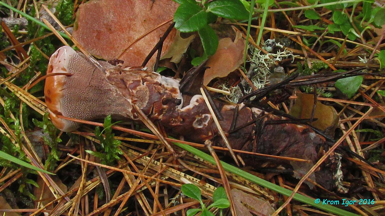 Гиднеллум ржавчинный (Hydnellum ferrugineum) Автор фото: Кром Игорь