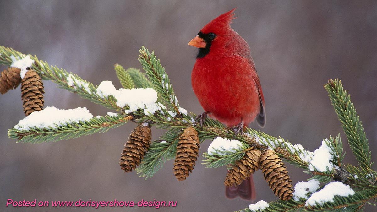 красный кардинал, птички рождества