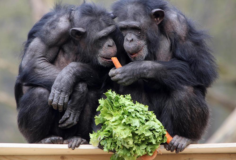 Юбилейный фруктово овощной «торт» для шимпанзе в Нидерландах