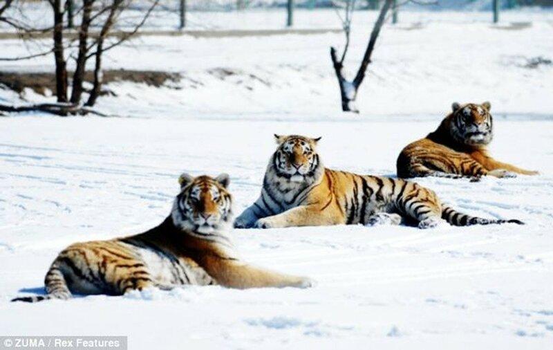 Стая амурских тигров расслабляется после сытного обеда