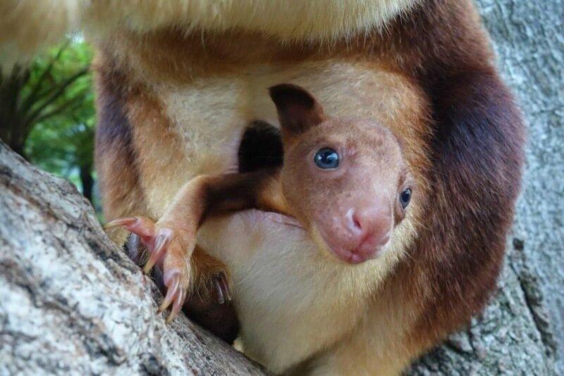 Детеныш древесного кенгуру в зоопарке Австралии. Как рождаются маленькие кенгуру