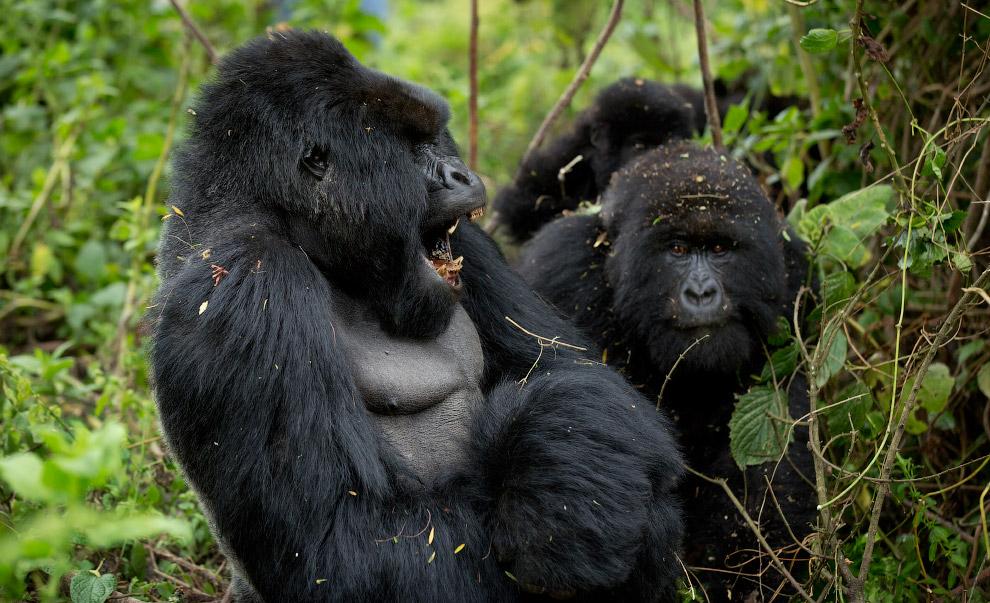 8. Горные гориллы ведут, в основном, наземный образ жизни, передвигаясь на четырёх конечностях.