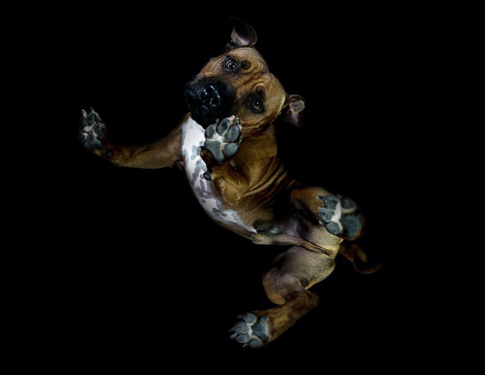 11. Кокер-спаниель. (Фото The Underdogs Project):