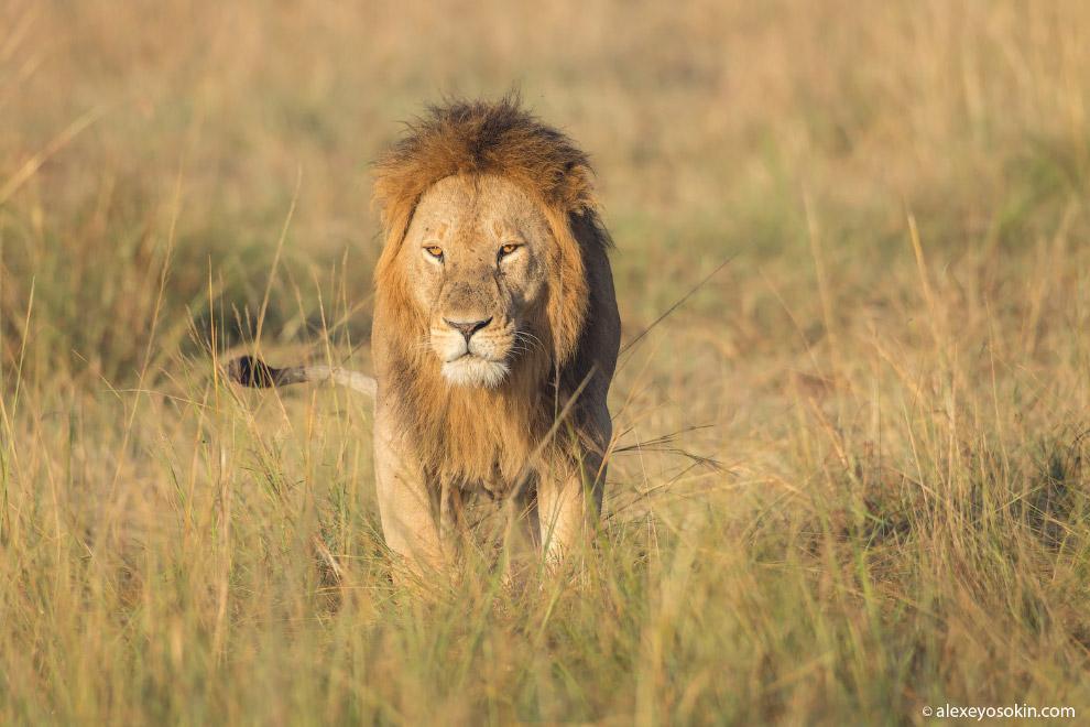 10++. Львы почти весь день спят! В жаркий период они тратят на сон до 20 часов в сутки! Вот так