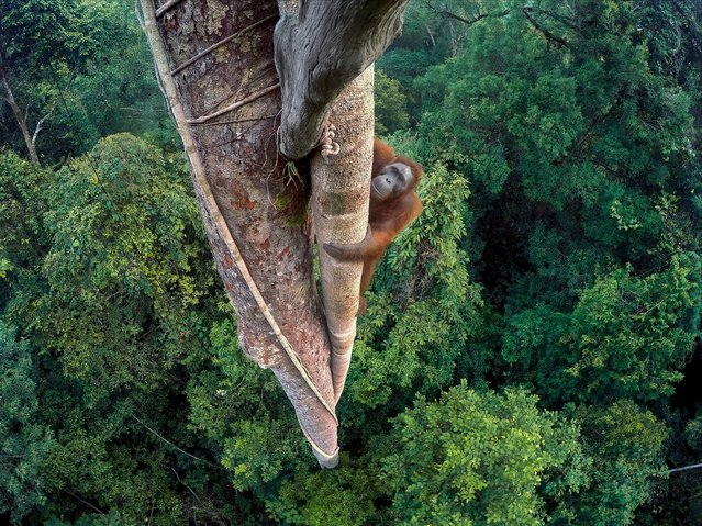 """Entwined Lives"". Tim Laman, US Winner, Wildlife photographer of the year. A young male orangutan ma"