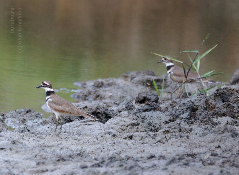 Крикливый зуёк - The killdeer (Charadrius vociferus) is a medium-sized plover.