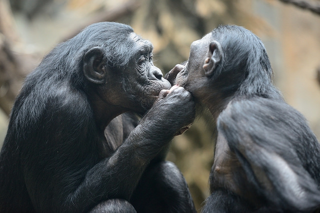 бонобо.jpg