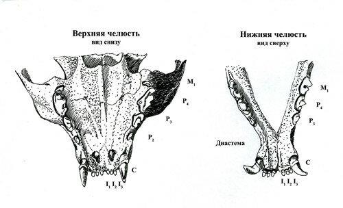 Зубы кошки: патологии развития 0_1b4a57_5d059125_L