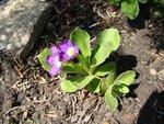 Primula villosa 011.JPG