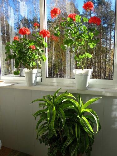 Комнатные растения на балконе. варенье из плодов каламондина.