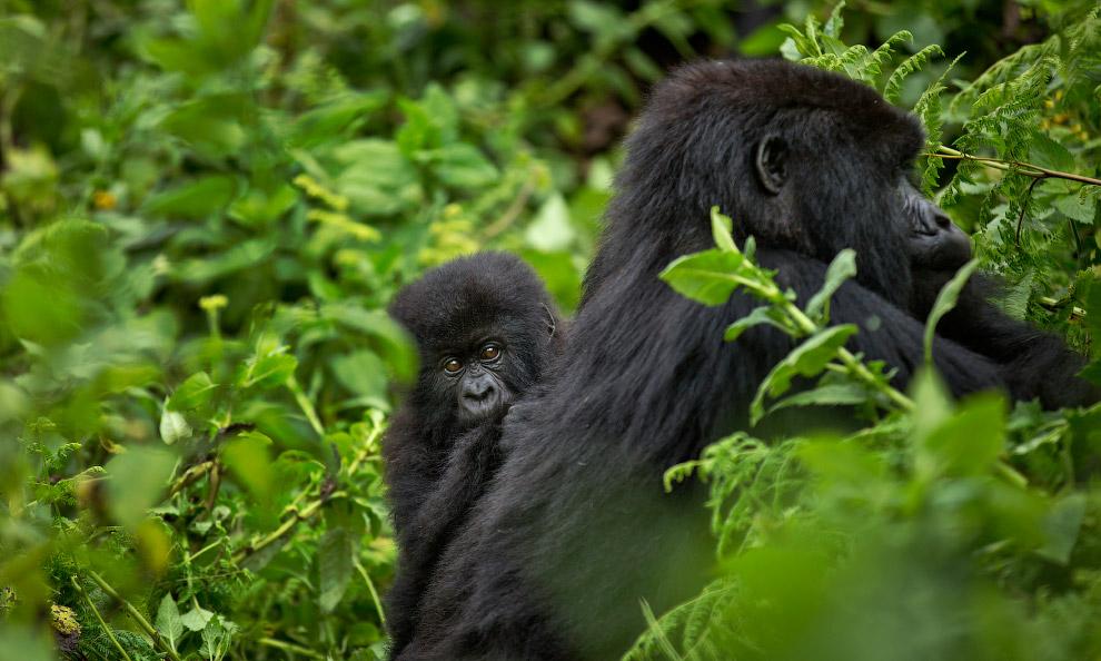 Мех горных горилл гуще и длиннее, чем у других видов, что позволяет им жить в местностях с боле