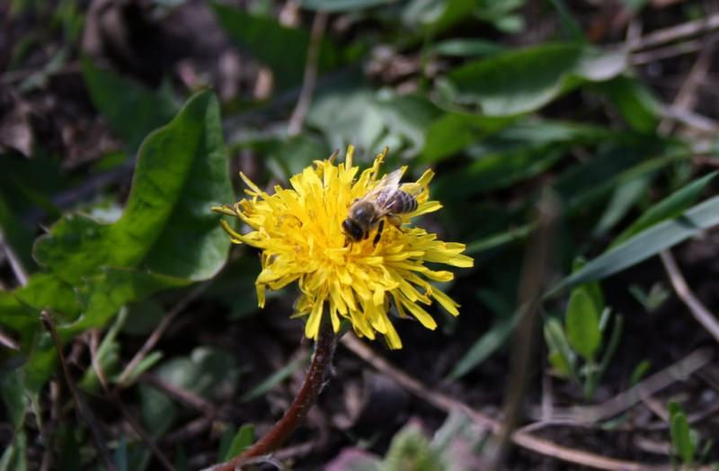 1. Как и где пчёлы собирают пыльцу? Пыльца – это мужские половые клетки растений. Она состоит из мел
