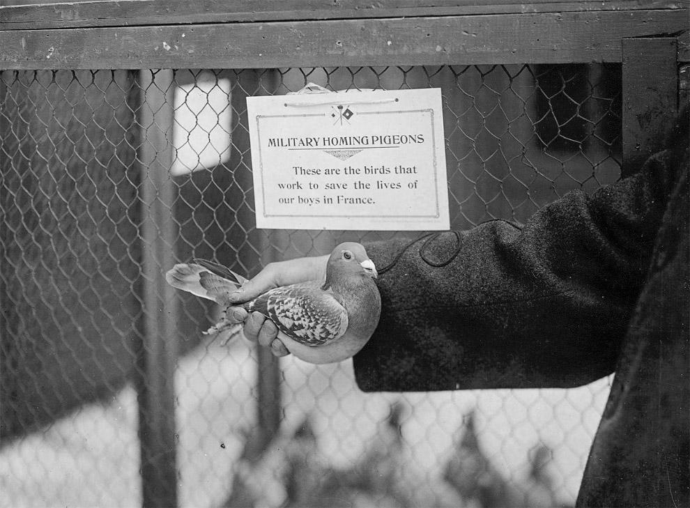 Бельгийские военные голуби. Их выпускали, а они затем возвращались с сообщениями, привязанными