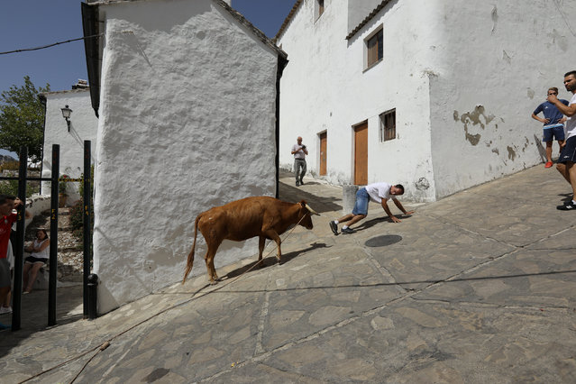 """A heifer, tied with a rope, chases a reveller during """"Toro de Cuerda"""" which travels through the vill"""