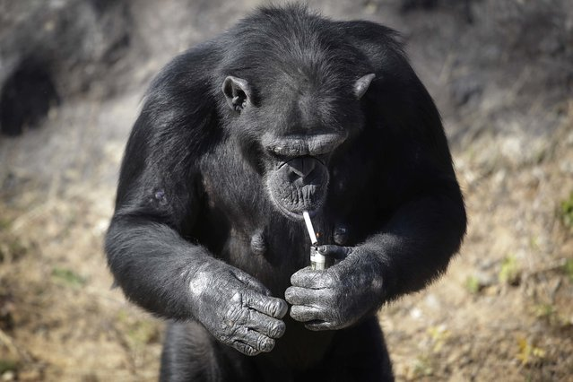 "Azalea, whose Korean name is ""Dalle"", a 19-year-old female chimpanzee, lights a cigarette at the Cen"