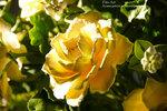 Желтые розы ручной работы. Слеплены из полимерной глины.