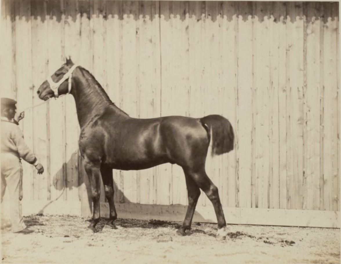 35. На выставке большой успех имели лошади, представленные Российскими императорскими конными заводами (24 особи 15-ти пород)