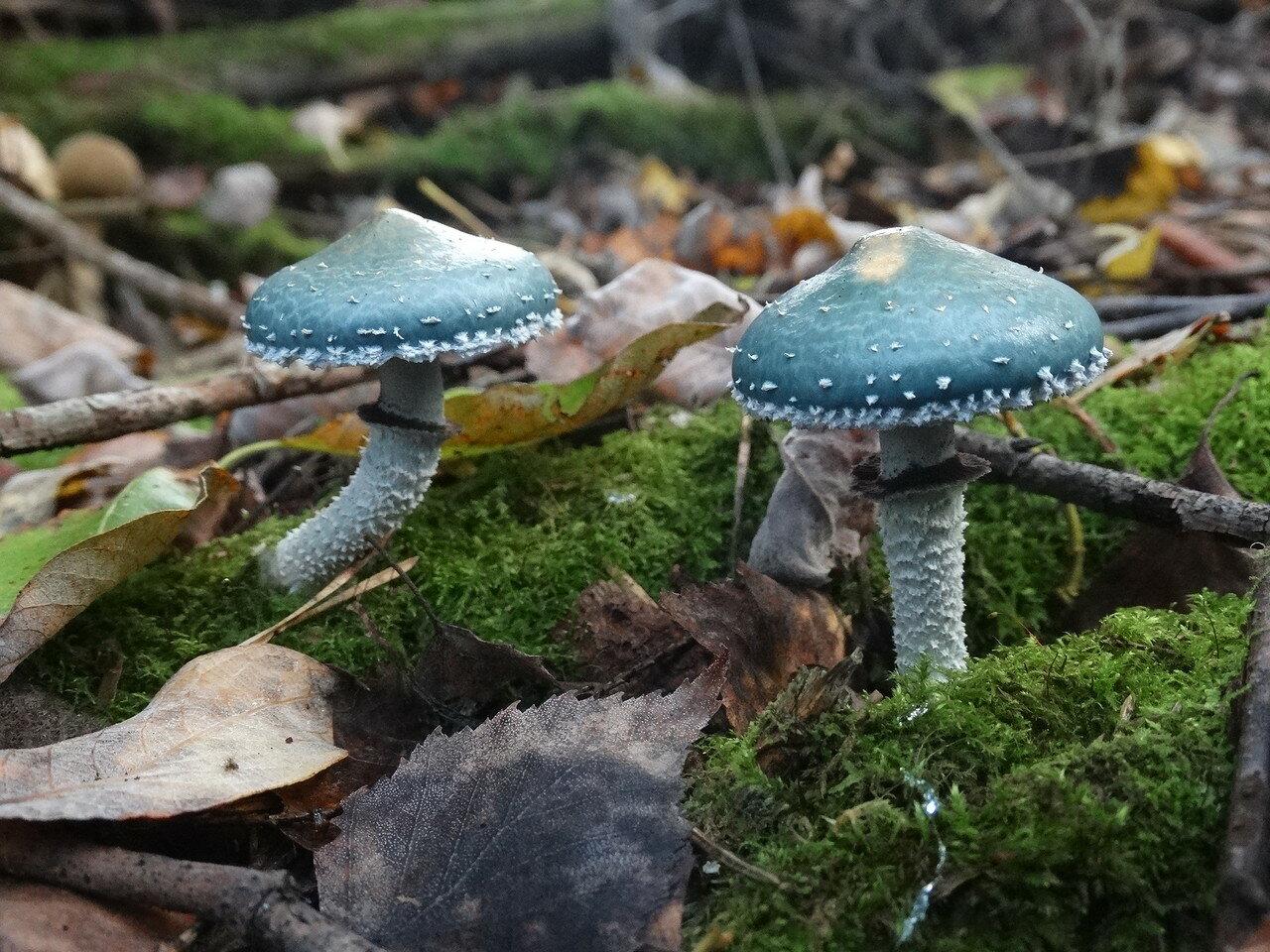 Строфария сине-зеленая (Stropharia aeruginosa). Автор фото: Привалова Марина