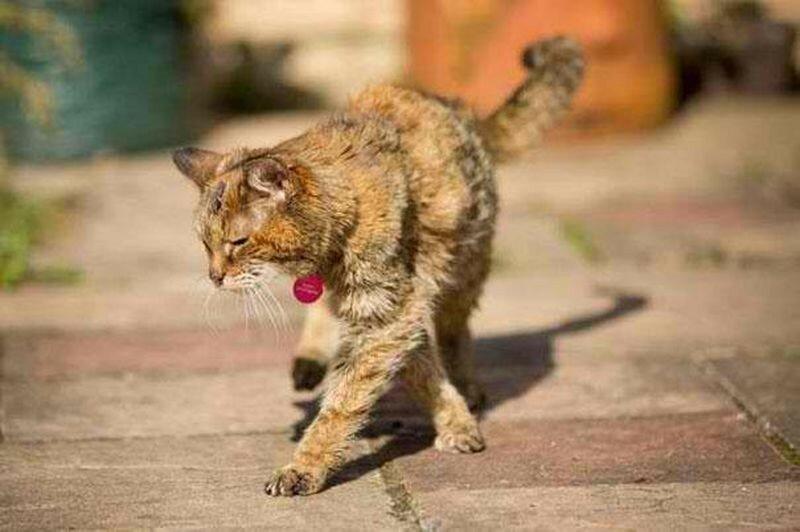 Самая старая кошка в мире (Крим-Пафф, 1967—2005)— рекорды животных