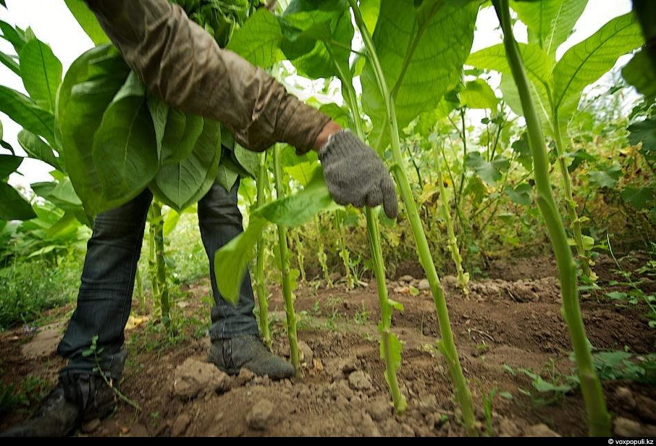 4. Чтобы избежать впитывания табачной смолы в кожу, рабочие используют перчатки и закрытую одежду