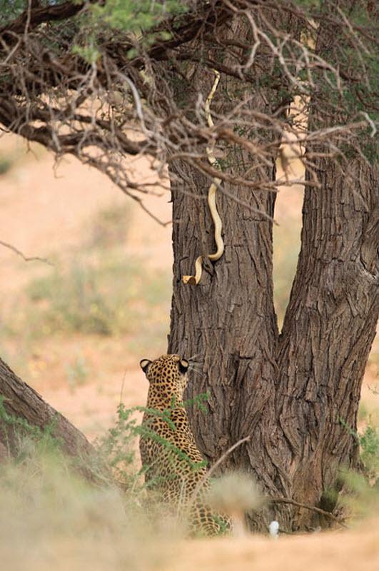 10. Противостояние леопарда и капской кобры на дереве. (HANNES LOCHNER / BARCROFT MEDIA)