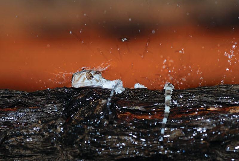 12. Геккон появляется из-за упавшего дерева. (HANNES LOCHNER / BARCROFT MEDIA)