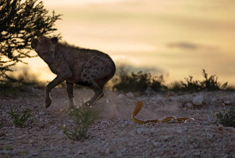 18. Пятнистая гиена убегает от агрессивной капской кобры. (HANNES LOCHNER / BARCROFT MEDIA)
