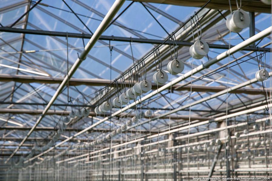 17. В тепличных условиях помидоры вырастают до 14 метров высоту и женщины по мере их вырастания