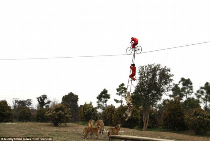 Акробат чуть не угодил в пасть тигра