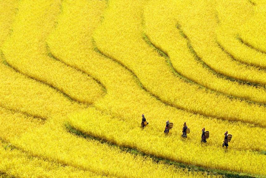 6. Золотые поля в штате Шан.