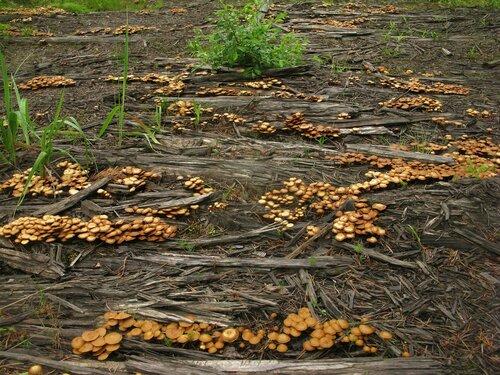 В какой-то момент в лесу можно было наблюдать полчища этих грибов Автор фото: Станислав Кривошеев
