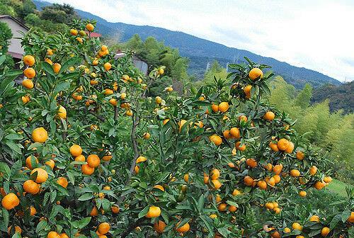 Вырастить мандариновое дерево дома