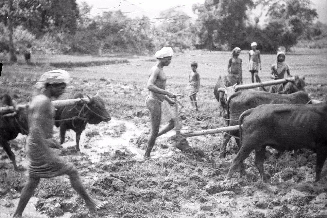61. Крестьяне вспахивают  рисовое поле в Моландени