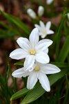 Хионодокса Люцилии Alba - Chionodoxa luciliae Alba