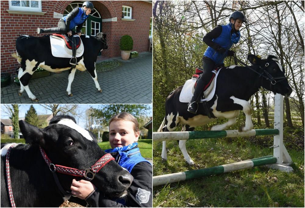 13-летняя школьница берет барьеры на корове