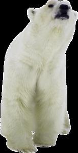 Белые медведи